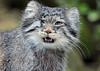Pallascat Blijdorp BB2A6557 (j.a.kok) Tags: mammal manoel pallascat felismanul manul kat cat predator asia azie animal blijdorp zoogdier dier