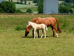 The first day in the pasture (libra1054) Tags: pferde horses cavalos cavalli caballos chevaux animals nature