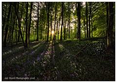 Rays of sunshine (awardphotography73) Tags: naturecolours vibrant cymru fforestfawr shadows light bluebells forest woodland nature sunset sunshine sunrays