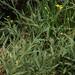 spearleaf arnica, Arnica longifolia
