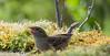 Moineau domestique femelle (nicolaspetitfrere) Tags: moineaudomestique bird oiseau eau photographie photography jardin garden mousse soleil panasonic