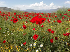 Greece (denismartin) Tags: greece europe tree flower spring poppy poppies rural rurality field cloud sky nature panorama mountains mountain colors colorsoftheworld colorandcolors red macedonia μακεδονία makedonía pindus travel trail travelphotography weather fleur bloom seeninmacedoniatimelessgroup
