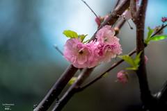1C8A9229 (G.LAI(on and off ,)) Tags: pink 桃花 cheery almond macro flower sky blossom cherry 樱花 toronto park high sakura