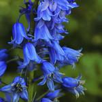 Common Bluebell (Hyacinthoides non-scripta) thumbnail