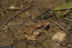 41289 Dark Sided Chorus Frog (Microhyla heymonsi) in amplexus at night in a puddle of water, Kuala Selangor Nature Park, Selangor, Malaysia. IUCN=Least Concern. (K Fletcher & D Baylis) Tags: wildlife animal fauna amphibian frog narrowmouthedfrogs microhylidae taiwanricefrog darksidedchorusfrog microhylaheymonsi leastconcern amplexus mating reproduction night nocturnal puddle kualaselangornaturepark selangor malaysia asia april2018