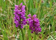 wild orchid (Hugo von Schreck) Tags: hugovonschreck wildorchid macro makro flower blume blüte canoneos5dsr tamron28300mmf3563divcpzda010