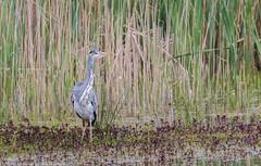 9Q6A2503 (2) (Alinbidford) Tags: alancurtis alinbidford brandonmarsh greyheron nature wildbirds wildlife