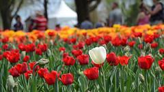 DSC_5348a (Fransois) Tags: fleurs flowers tulipes tulips ottawa ontario bock visiteurs visitors