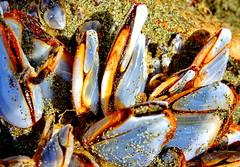 Sandy Wickaninnish Beach: Natural beauties (+1) (peggyhr) Tags: peggyhr orange white grey black yellow sand beach macro dsc01031b vancouverisland bc canada wickaninnishbeach neartofino pacificrimnationalpark carolinasfarmfriends level1pfr mussels
