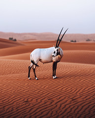 King of the desert. (Bokehm0n) Tags: landscape nature vsco explore flickr earth travel folk 500px sandstorm dune desert sand saudia arabia white sands arid oryx animal wildlife outdoors emirates dubai