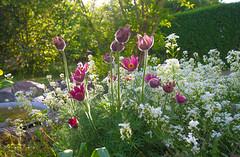 Sunny sunday... (RdeUppsala) Tags: flores flowers blommor trädgård jardín trädgården uppland uppsala sweden suecia sverige spring vår primavera ricardofeinstein backsippa pulsatillavulgaris pasqueflower flordepascua