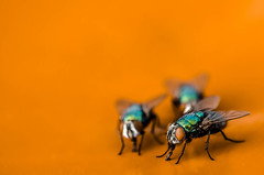Time flies like an arrow. Fruit flies like an orange. (ATulley) Tags: animals england flies fly garden insects nature outdoors