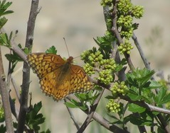 Variegated Fritillary butterfly (Bug Eric) Tags: animals wildlife nature outdoors insects bugs butterflies nymphalidae lepidoptera neenoshereservoir queensstatewildlifearea colorado usa variegatedfritillary euptoietaclaudia northamerica may132018