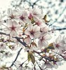 Cherry Blossoms (-liyen-) Tags: cheeryblossoms activeassignmentweekly mobile moblephone cameraphone samsungs8 square spring beauty nature toronto highpark park closeup branch bestofweek1 challengeyouwinner