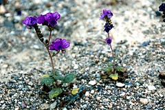 Heliotrope phacelia (EmperorNorton47) Tags: deathvalleynationalpark california photo digital winter wildflower flowers phaceliacrenutaambigua heliotropephacelia notchleavedphacelia purplestemphacelia nps unesco worldheritagesite
