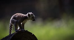 Making the jump (claudiacridge) Tags: love animal baby stripe ringtailed lemur