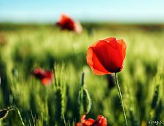 Coquillot (Cruz S.) Tags: flores flowers naturaleza amapolas atardecer natura