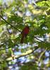 Cardinal (jmaxtours) Tags: cardinal turkeypoint turkeypointontario bird red