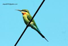 IMG_1544 Blue-tailed Bee-eater (Merops philippinus) (vlupadya) Tags: greatnature animal aves fauna indian0birds bluetailed beeeater merops kundapura karnataka