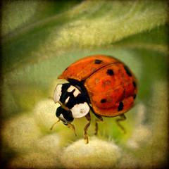 dot-to-dot delight (1crzqbn) Tags: ladybug 21522018 macro makro outside sunlight light dof mygarden nature comfrey