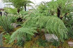 Lophosoria quadripinnata (vireyauk) Tags: lophosoriaquadripinnata lophosoria quadripinnata kellsbaygardens chelseaflowershow 2018 treefern fern frond dicksoniaceae