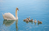swan's family (06) (Vlado Ferenčić) Tags: swans swansfamily vladimirferencic birds animals vladoferencic lakes animalplanet lakezajarki nikond600 nikkor8020028 hrvatska croatia zaprešić