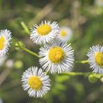 Flower III thumbnail