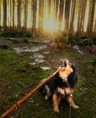 Dogs and sticks are a winner! 😄 (evakongshavn) Tags: dog dogsonadventures dogphotography dogs snowdog dogschilling doginsunset dogsofnorway cutedog flickrdogs walkingthedog doginsnow dogsandsticks dogportrait dogsthathike sunset sunshine letthesunshinein forest wald foret tree trees