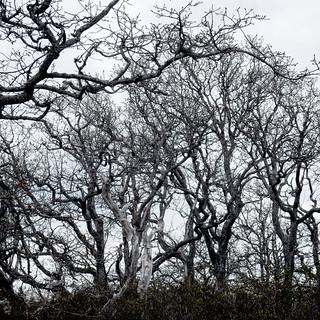Garry Oak, Upland Parks, Victoria, BC
