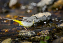 Grey Wagtail (Motacilla cinerea) - 'Z' for zoom (hunt.keith27) Tags: add tags motacillacinerea greywagtail female feeding insects devon rock yellow feathers water tail bird animal outdoor canon stream