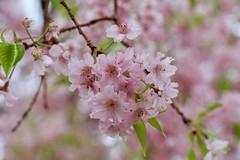 Spring Busting Out (Read2me) Tags: cye tcfe pink flower blossom spring tree challengeclubwinner pregamewinner friendlychallenges gamewinner