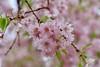 Spring Busting Out (Read2me) Tags: cye tcfe pink flower blossom spring tree challengeclubwinner ge pregamewinner friendlychallenges