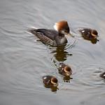 Merganser Family thumbnail