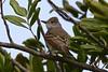 Ash-throated Flycatcher (Myiarchus cinerascens) (Joyce Waterman) Tags: ashthroated flycatcher woodlawn cemetery myiarchus cinerascens