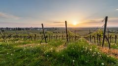Frühlingsblumen in den Weinbergen -HDR (Knipser31405) Tags: 2018 belichtungsreihe frühjahr sonnenaufgang wachenheim weinberge