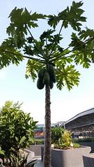 Papaya Tree, Our Tampines Hub (SunnyGo) Tags: singapore our tampines hub eco community garden plants nature papaya tree ourtampineshub facilities building green