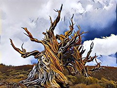 Bristlecone Prisma (RS2Photography) Tags: vaatu treeoftime femme nature whitemountains mountain mountains rossstone stone ross mojopotatoes cloudy clouds gnarly twisted ancientbristleconepines ancienttrees bristleconepinetrees bristleconepinetree bristleconepines bristleconepine bristlecones bristlecone new oldtree california old art prismaapp prisma