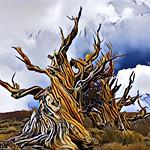 Bristlecone Prisma thumbnail