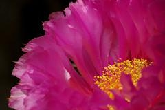 ... (cbrozek21) Tags: 7dwf pink cactus petal anther filament pinkflower