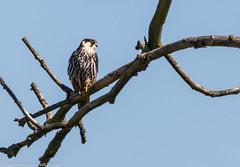 9Q6A2311 (2) (Alinbidford) Tags: alancurtis alinbidford birdofprey brandonmarsh hobby nature wildbirds wildlife
