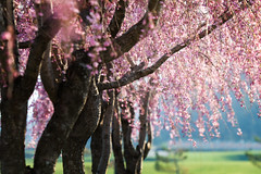 Raining Spring (jasohill) Tags: 2018 glow spring flowers tohoku blossom fierce iwate sakura tree sunset cherry hachimantai pink matsuo life photography city fire rain japan shidare
