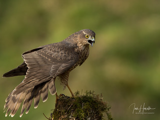 Sparrow Hawk (female)
