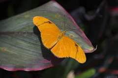 Butterfly 2018-16 (michaelramsdell1967) Tags: butterfly butterflies macro nature animal animals insect insects beauty beautiful pretty upclose closeup orange green vivid vibrant wing wings spring bug bugs delicate lovely garden purple zen leaf detail