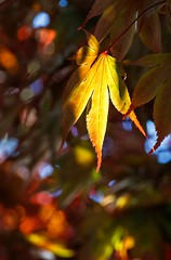 Catch the Bokeh (Petra Runge) Tags: detail nahaufnahme ahorn blatt licht bunt farben colorful color leaf maple close up light smileonsaturday catchthebokeh