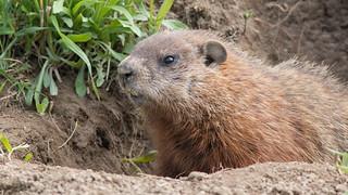 Marmotte,