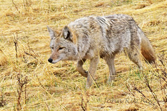 Coyote hunting in the rain (ritchey.jj) Tags: coyote
