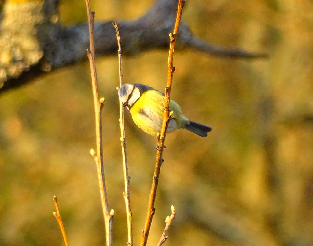 Águas Frias (Chaves) - ... pequena ave canora e de plumagem vistosa ...