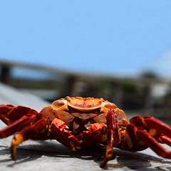 Exoesqueleto de un cangrejo Zayapa (Josth91) Tags: crab redcrab cangrejo rojo galapagos zayapa nosecome islands islas ecuador allyouneedisecuador