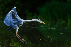 Grey heron fishing (LiamHy) Tags: heron wildlife milton keynes