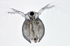 Ceriodaphnia (mr.sansibar) Tags: planapo arthropod crustacea zooplankton freshwater pondlife microscopy photomicrography focusstacking olympusbh2 heliconfocus ceriodaphnia cladocera waterflea